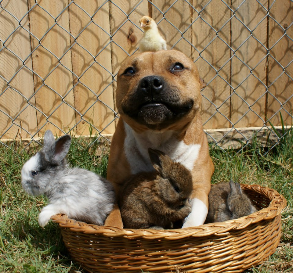 Bans on the Pit Bull Terrier